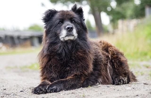 Черная кавказская овчарка