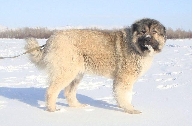 Кавказская овчарка – прогулка зимой