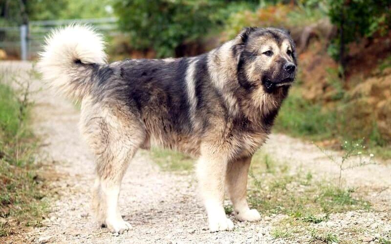 Кавказская овчарка – крупная порода