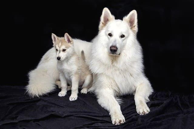 Две лайки – взрослая и щенок
