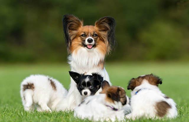Папильон с щенками