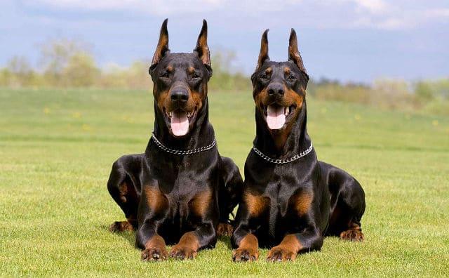 Собаки с купированными ушами