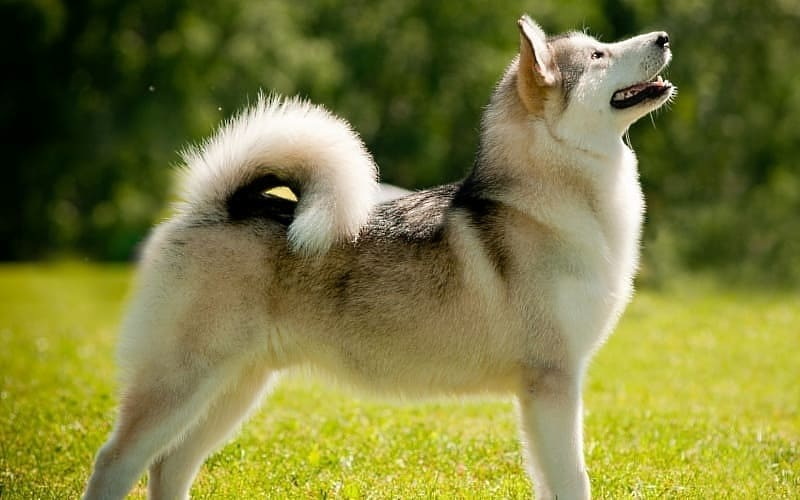 Собака лайка в полный рост