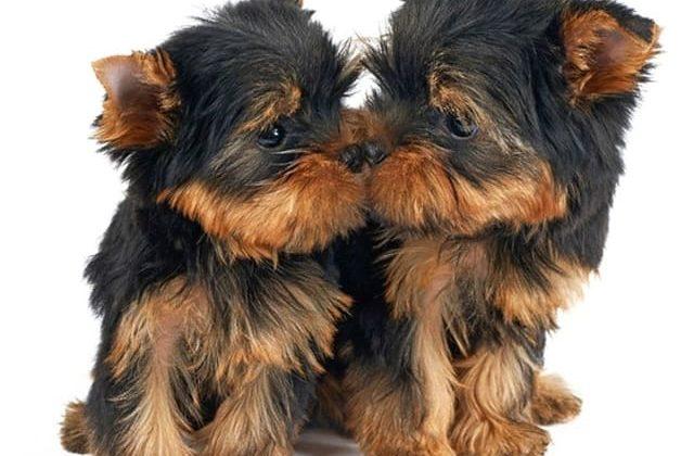 Две собачки породы мини йоркширский терьер