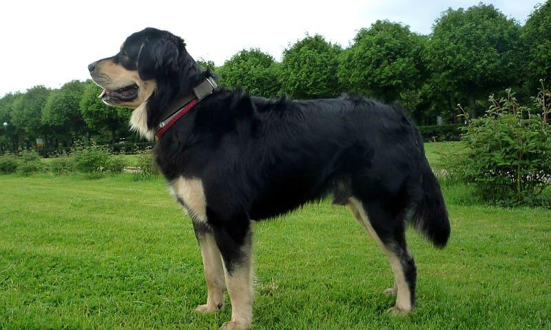 Собака породы монгольский банхар