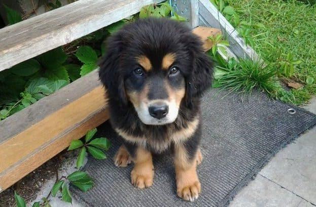 Милый щенок породы монгольский банхар