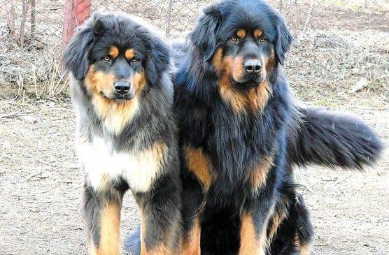 Два пса – Монгольский банхар
