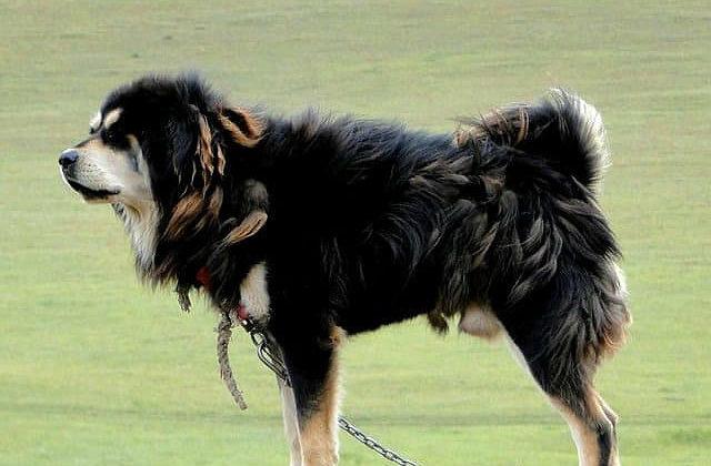 Шерсть собаки монгольский банхар