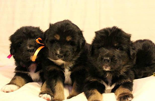 Малыши-щенки – монгольский банхар
