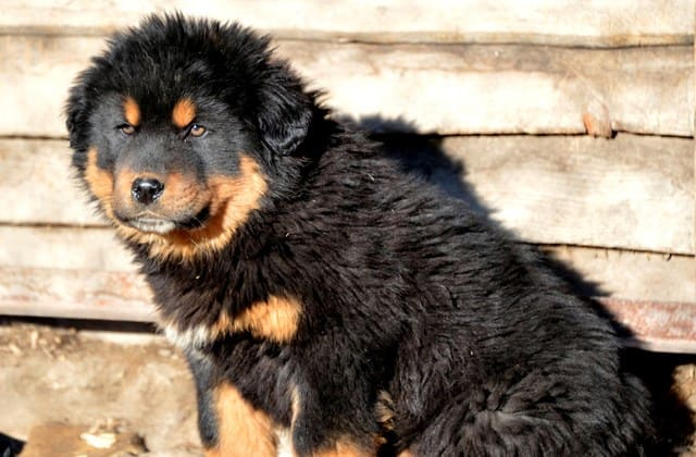 Щенок – собака монгольский банхар