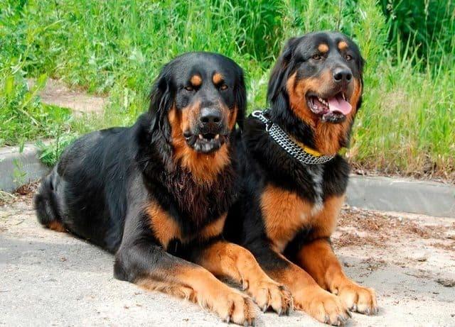 Две собаки – порода монгольский банхар