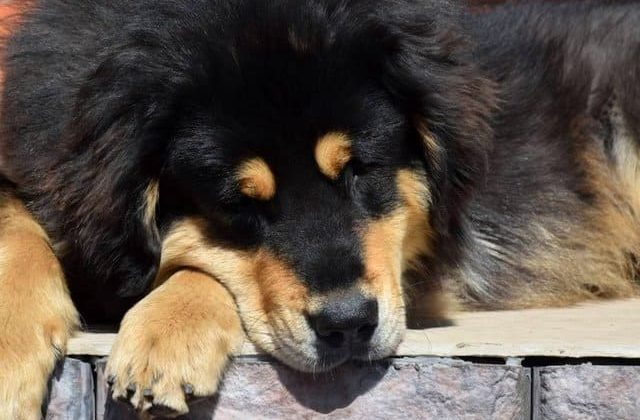 Монгольский банхар – спящая собака
