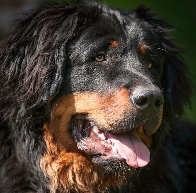 Морда собаки монгольский банхар