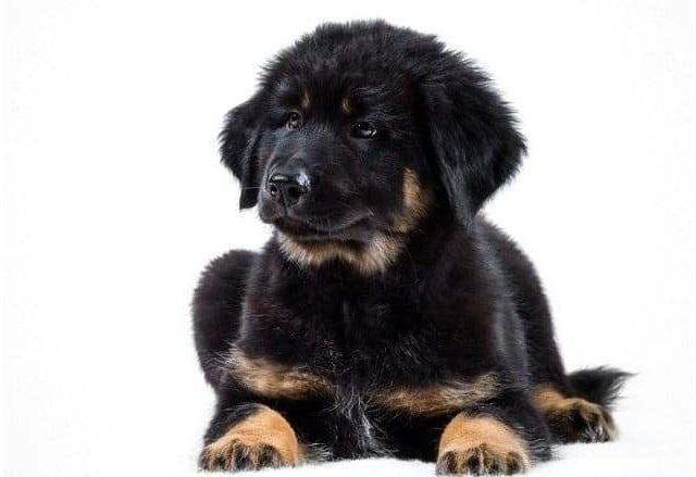Черный щенок породы монгольский банхар