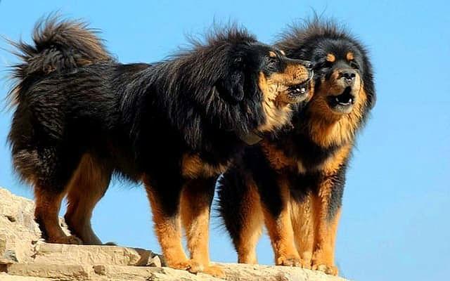 Монгольский банхар – крупная порода собак