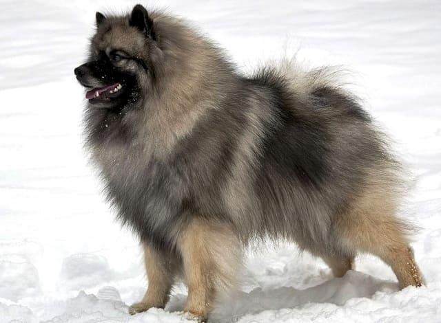 Собака породы вольфшпиц