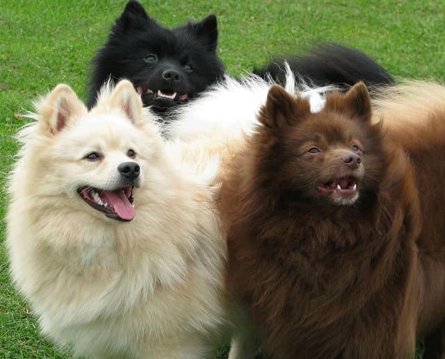 Собаки породы немецкий шпиц