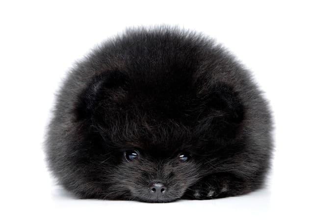 Черный щенок породы немецкий шпиц