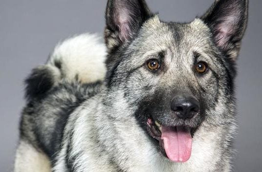 Норвежская лайка – морда собаки