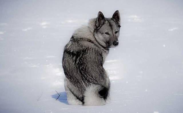 Норвежская лайка на снегу