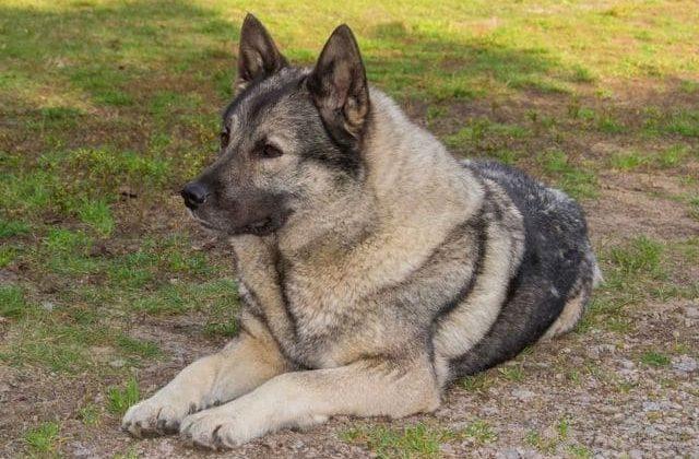 Норвежская лайка – взрослая собака