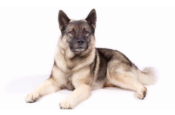 Норвежская лайка – внешний вид собаки