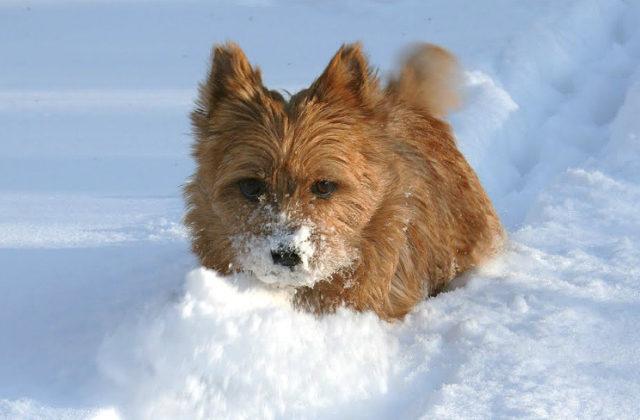 Норвич-терьер в снегу