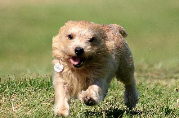 Норвич-терьер бежит по траве