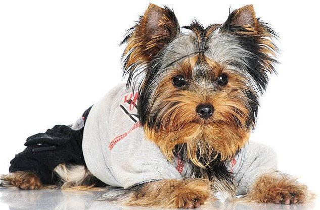 Собака йорк в одежде