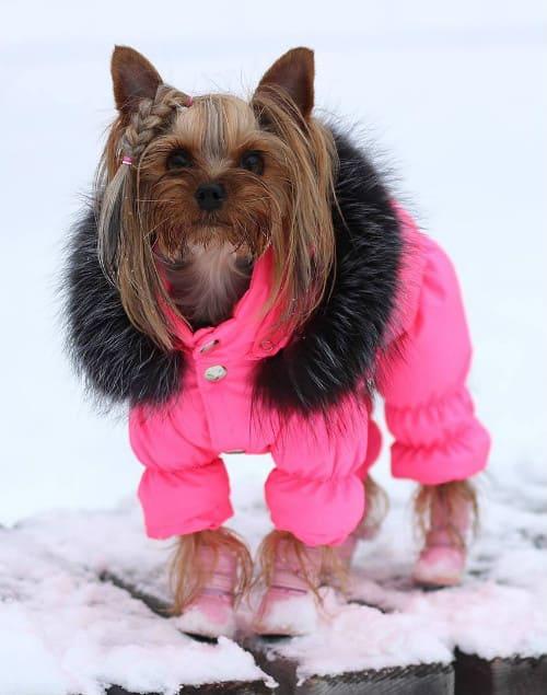 Девочка йорк в розовом комбинезоне