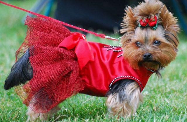 Йорк в красном платье