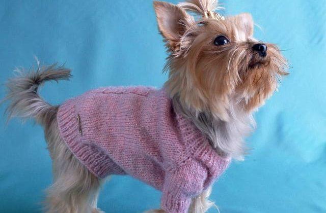 Йорк в вязаном свитере