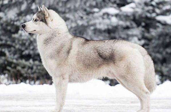 Хаски – окрас белый с серым
