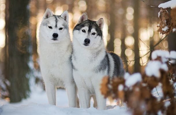 Окрасы собак породы сибирский хаски