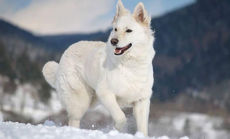 Белая немецкая овчарка