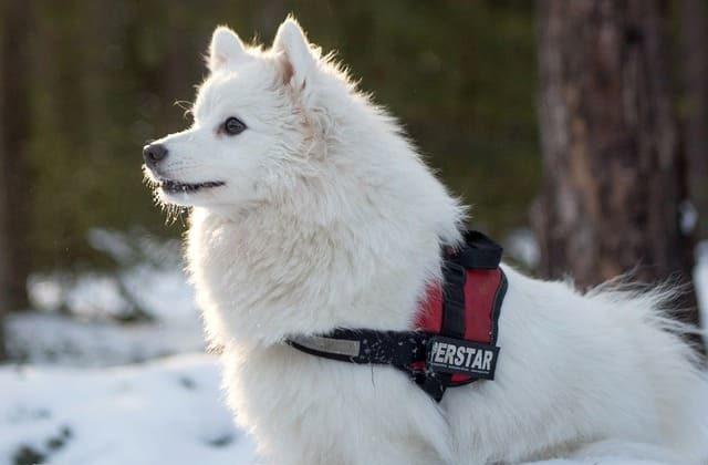 Окрасы шпицев – собака с белой шерстью