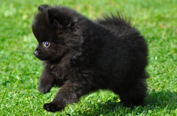 Окрасы шпицев – черный щенок