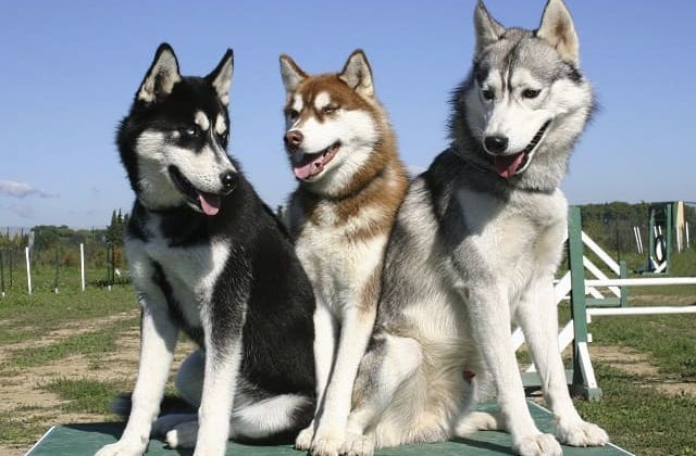 Сибирские хаски – черный, рыжий, серый