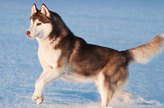 Сибирский хаски с коричневым окрасом шерсти