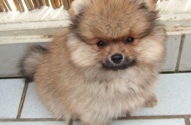 Померанский шпиц – маленькая порода собак