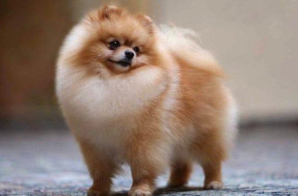 Померанский шпиц – очень красивая собака