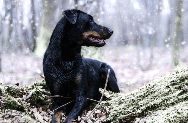 Босерон на зимней прогулке в лесу