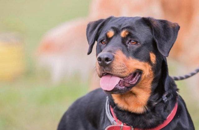 Собака породы босерон