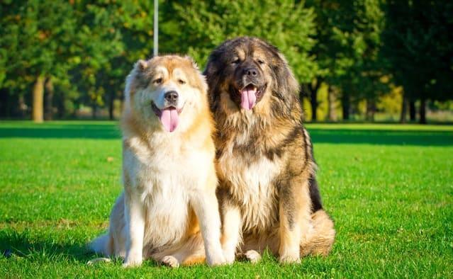 Порода собаки – кавказкая овчарка
