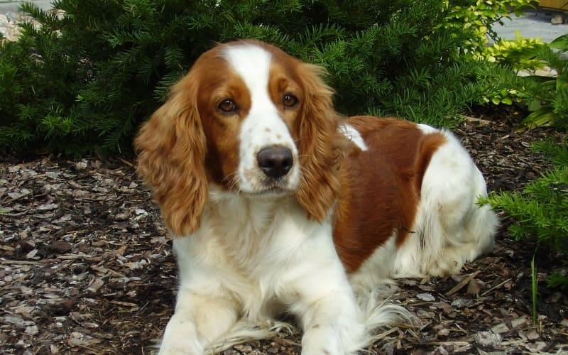 Порода собаки – русский спаниель