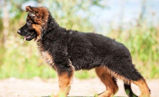 Щенок породы немецкая овчарка
