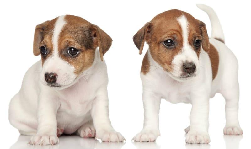 Продолжительность жизни джек-рассел-терьеров – щенки