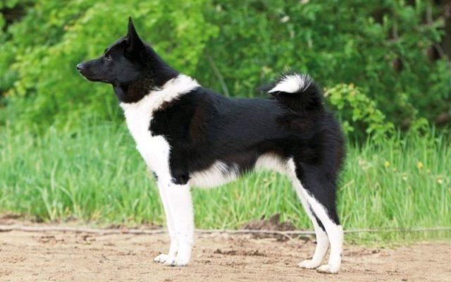 Русско-европейская лайка – собака в полный рост