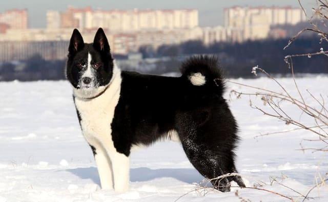 Русско-европейская лайка на зимней прогулке