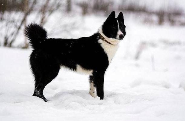 Русско-европейская лайка – зимняя прогулка в лесу